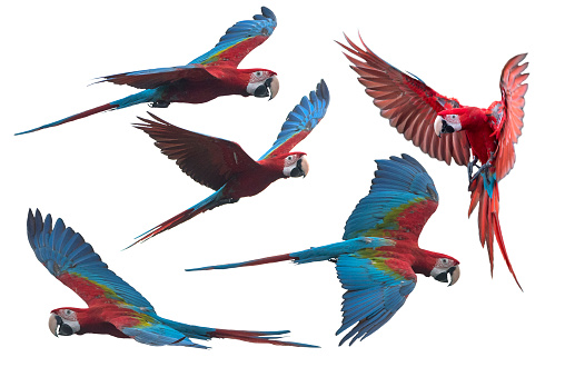 red and green macaw flying isolated on white background