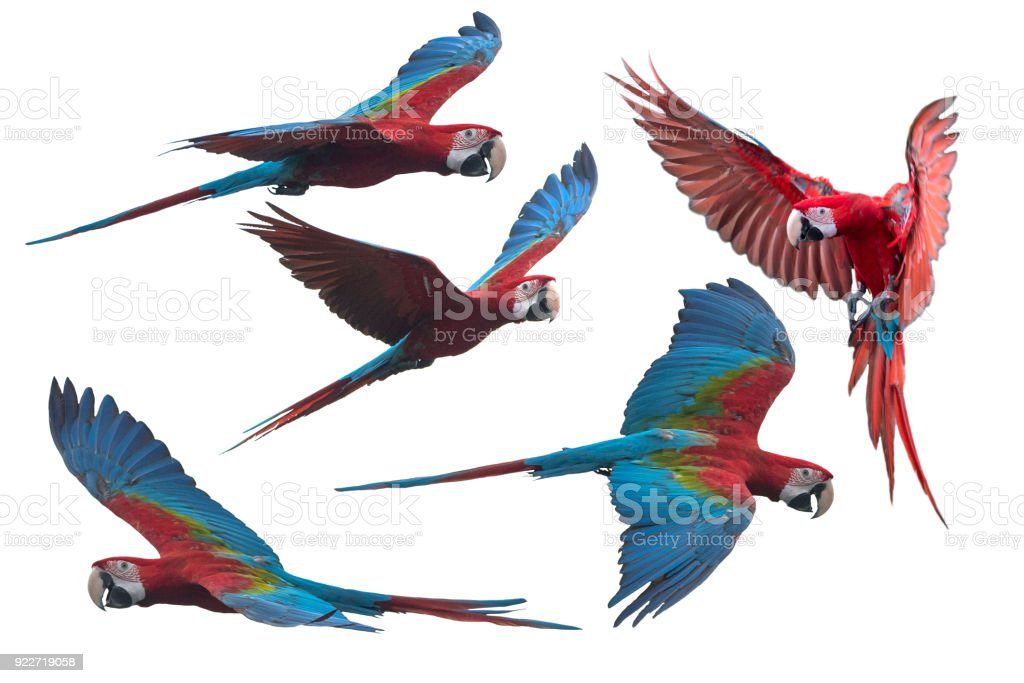 Red and green macaw flying i stock photo