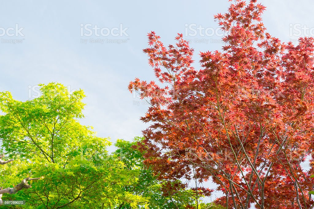 Red and green maple tree in forest in fall season. royalty-free stock photo