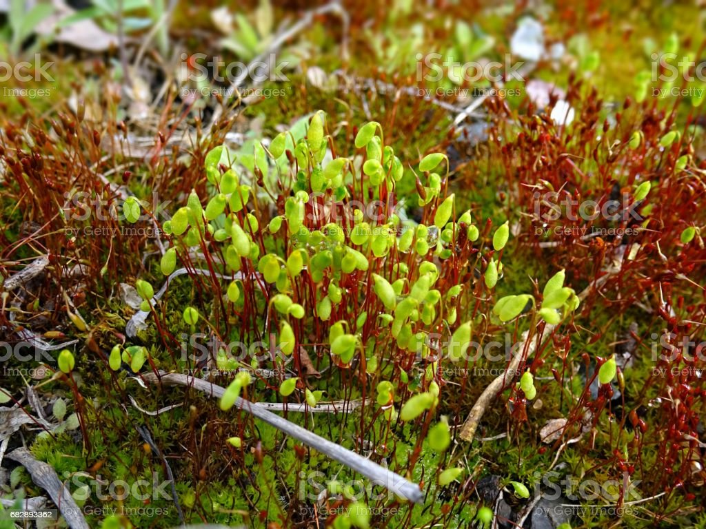 Red and green moss close up in spring with water droplets after rain Lizenzfreies stock-foto