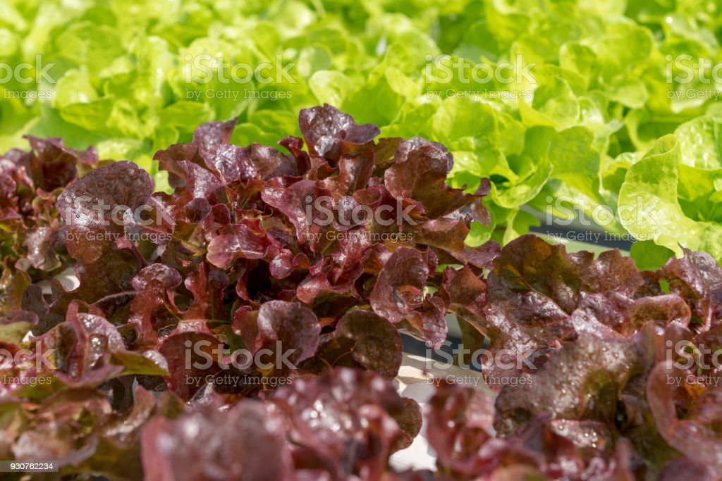 Red and Green oak salad lettuce farm .Organic food ,agriculture and hydroponic conccept. stock photo