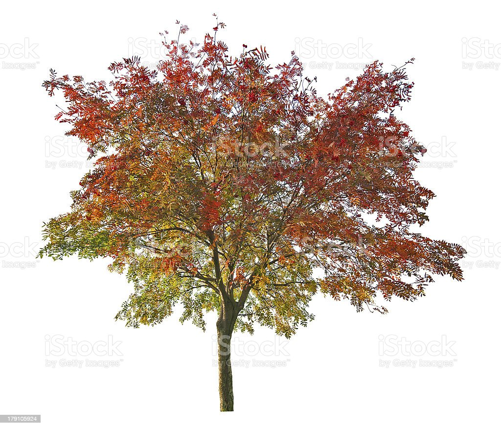 red and green rowan tree with berries stock photo