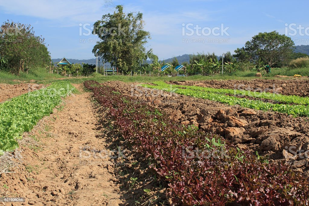 Red and green rows on field foto stock royalty-free