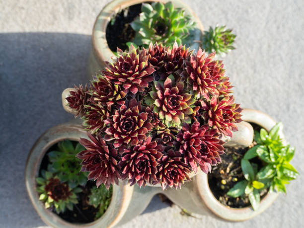 Red and green sempervivum plants in a pot stock photo