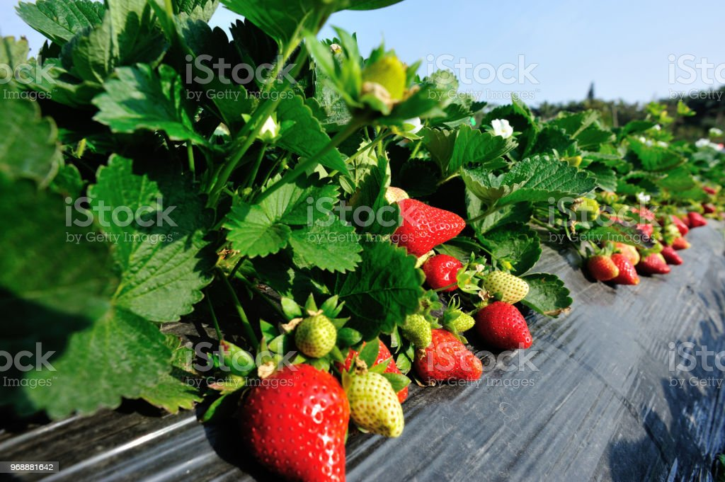 red and green strawberries in growth at garden – zdjęcie