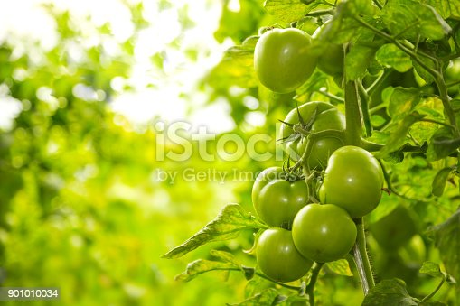 istock Red and green tomatoes on tomato plant 901010034