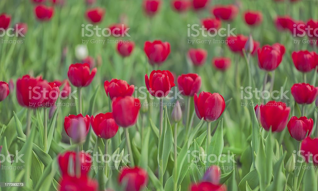 red and green tulip background royalty-free stock photo