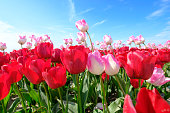 Red and longer pink tulips in one field, with wide angle lense from below, very nice blue cloudy sky in the Netherlands. windmills in the background. Selective focus.