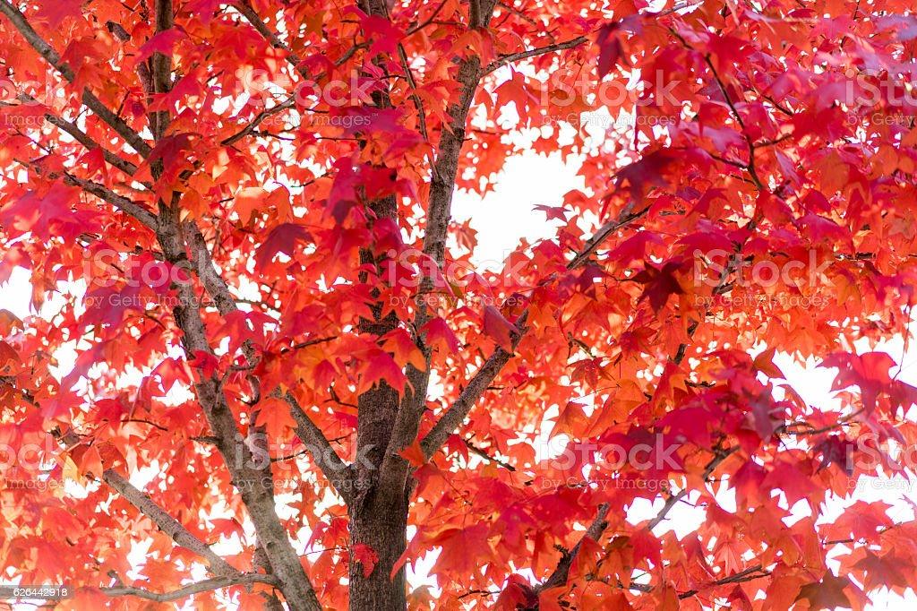 Red and orange autumn leaf background stock photo
