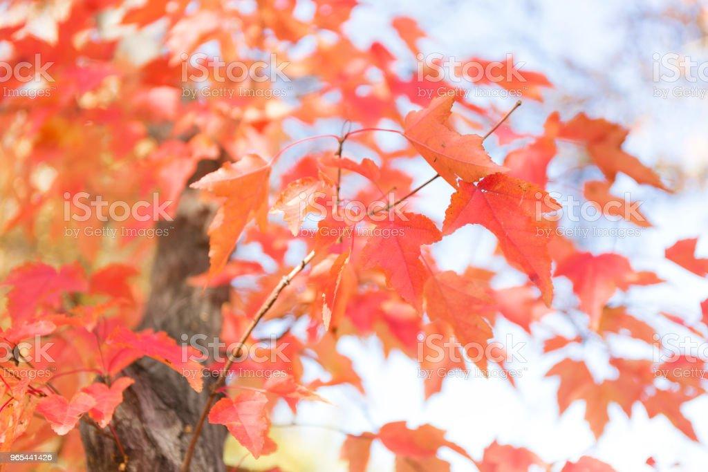 Red and orange autumn leaves background. zbiór zdjęć royalty-free