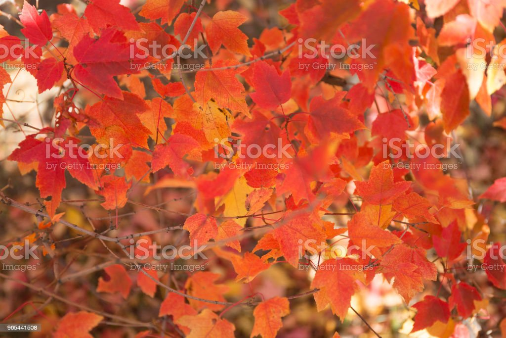 Red and orange autumn leaves background. royalty-free stock photo