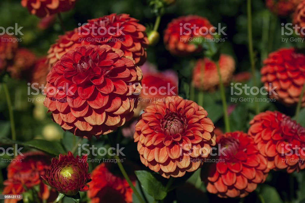 Red and Orange Dahlias against Foliage Background stock photo