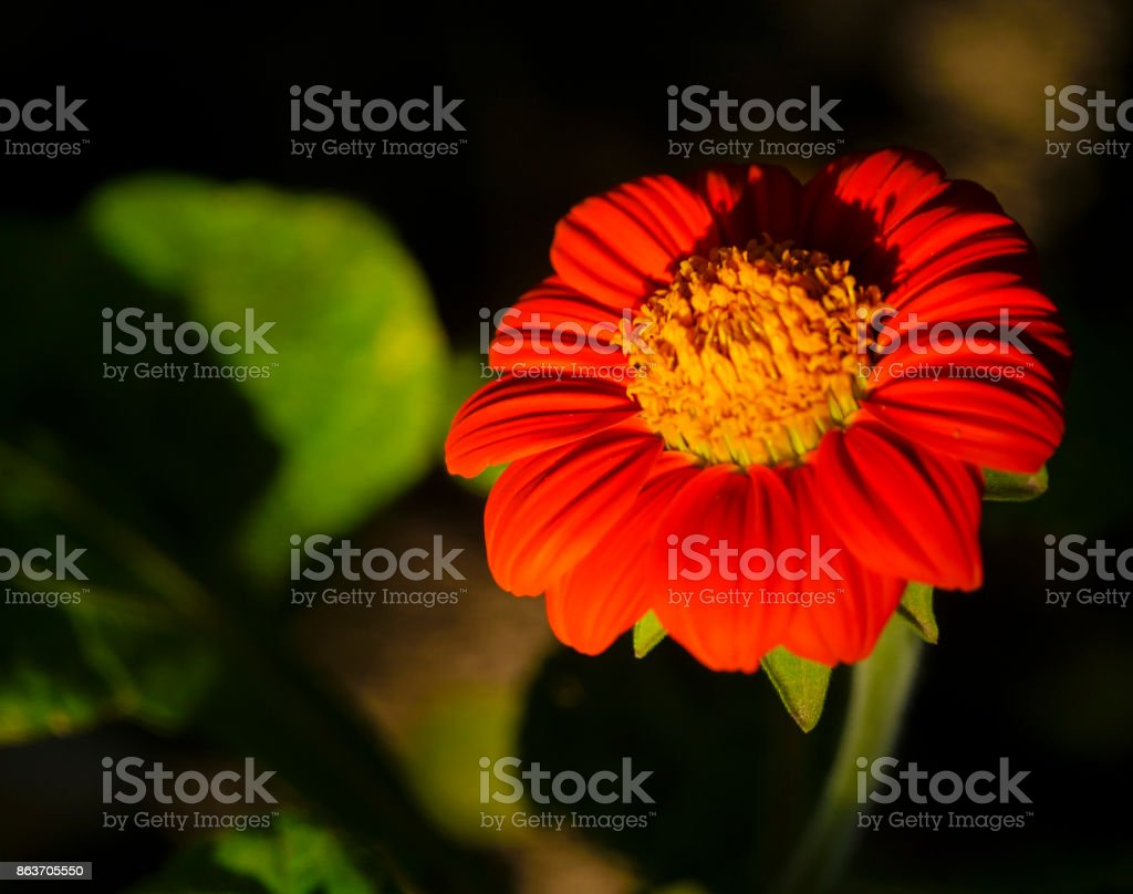 Red and orange flower beautiful 2 stock photo
