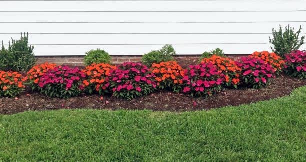 紅橙鳳仙花 - 花圃 個照片及圖片檔
