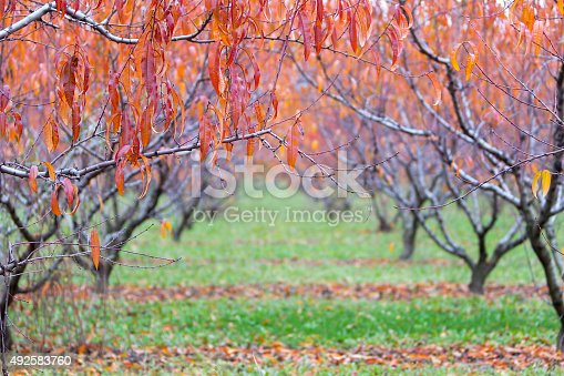 istock Red and Orange Leaf Background, Trees in the Fall 492583760