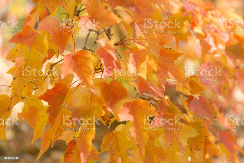 Red and orange leaves background. Autumn foliage. - Zbiór zdjęć royalty-free (Bez ludzi)