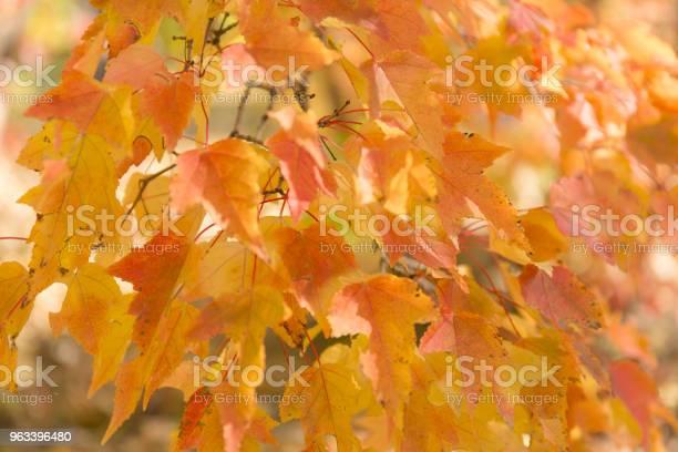 Czerwone I Pomarańczowe Liście Tła Jesienne Liście - zdjęcia stockowe i więcej obrazów Bez ludzi