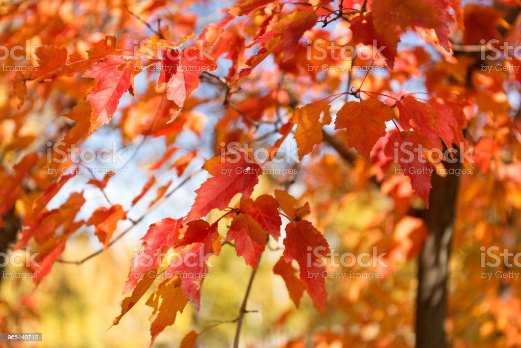 Red and orange leaves background. Autumn foliage. zbiór zdjęć royalty-free