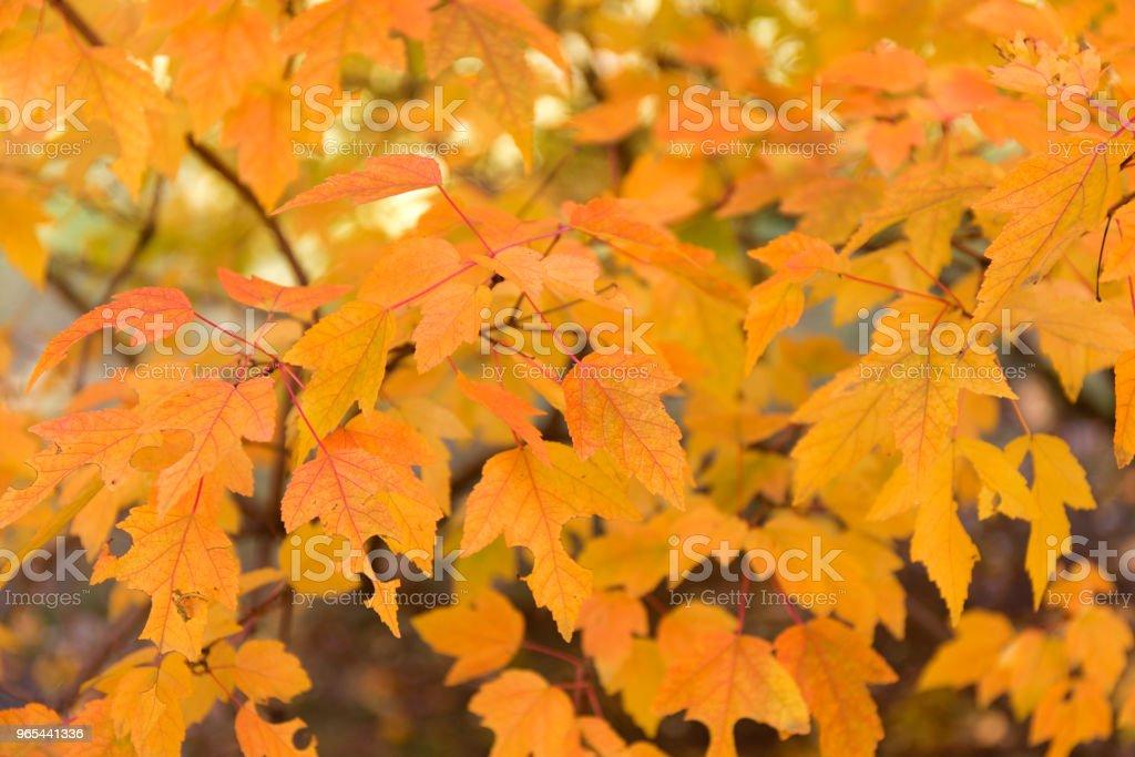 Fond de feuilles rouge et orange. Feuillage automnal. - Photo de Abstrait libre de droits