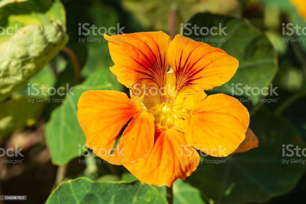 red and orange nasturtium flower enjoying the sunrise - Royalty-free Annual - Plant Attribute Stock Photo
