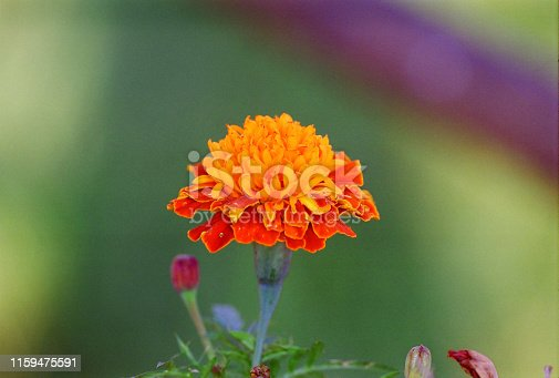 istock red and orange yellow carnation number 2 1159475591
