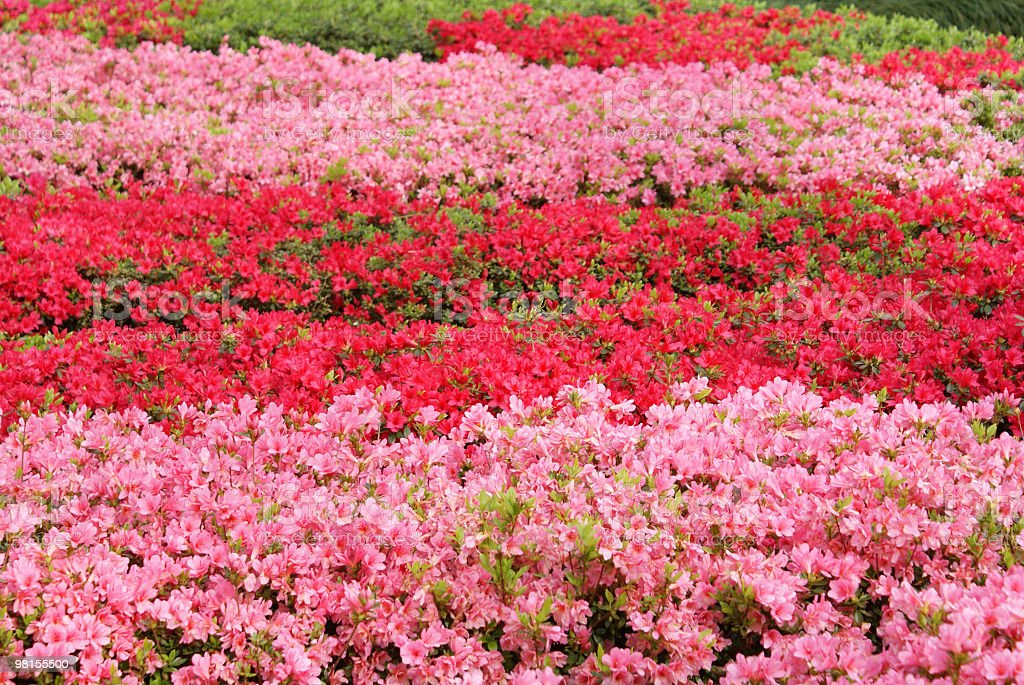 Red and pink azalea pattern royalty-free stock photo