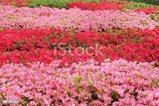 Motivo Rosso E Rosa Azalea - Fotografie stock e altre immagini di Aiuola