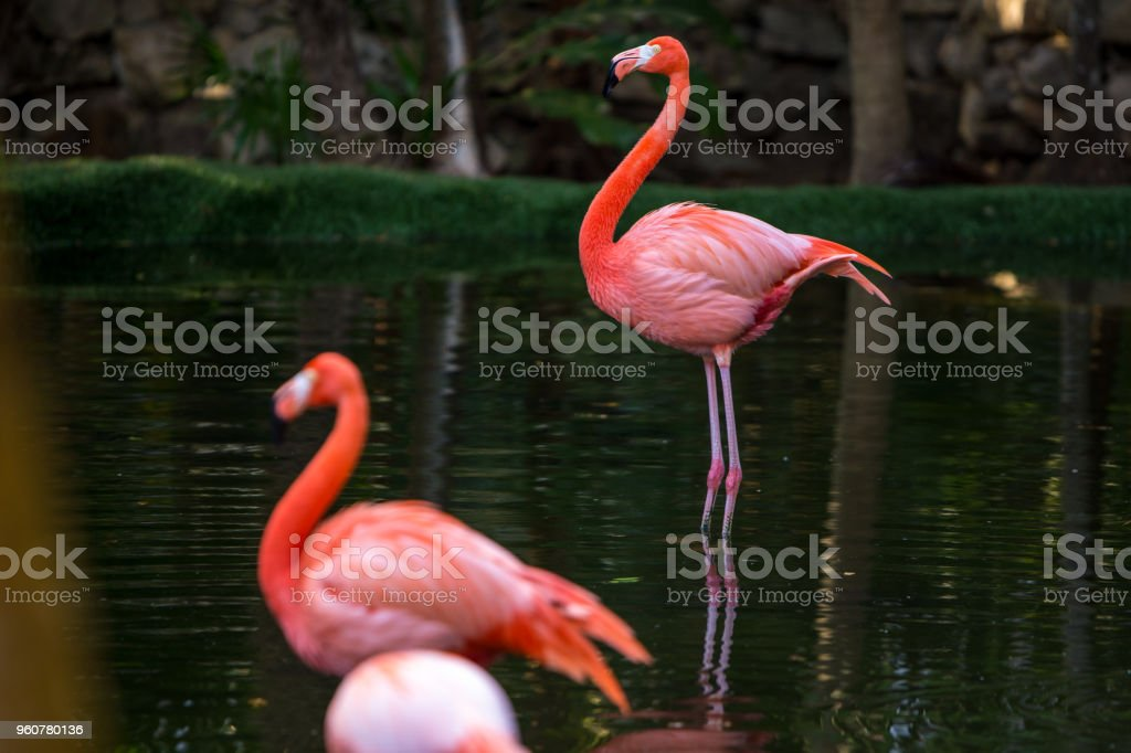 Red and pink flamingos in a pond stock photo
