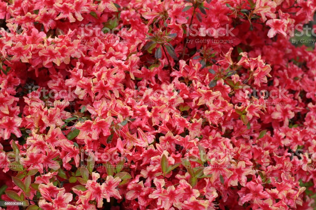 Red And Pink Flowers royalty-free stock photo