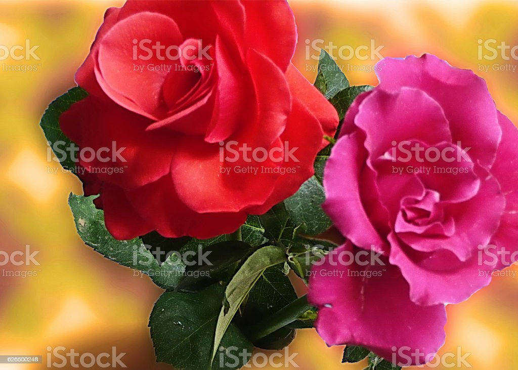 Red and Pink Rose stock photo