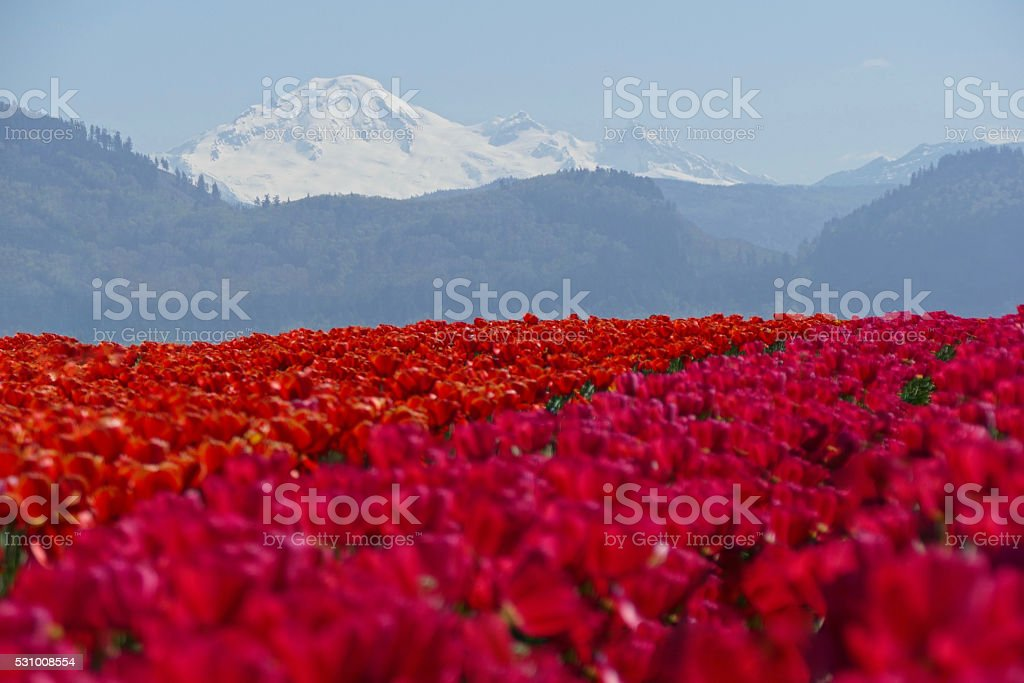 Red and PInk Tulips Field and Snow Capped Mountains. stock photo