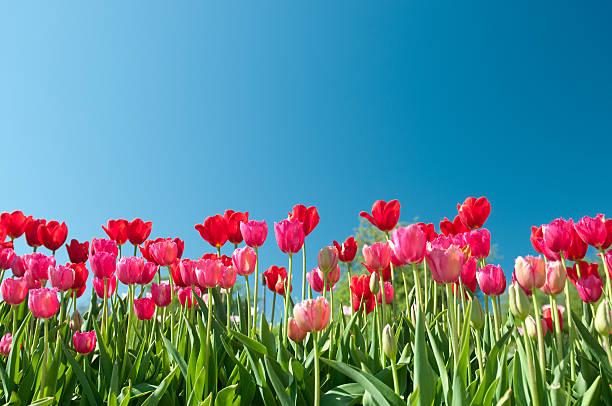 rot und rosa tulpen von unten - patrick hutter stock-fotos und bilder