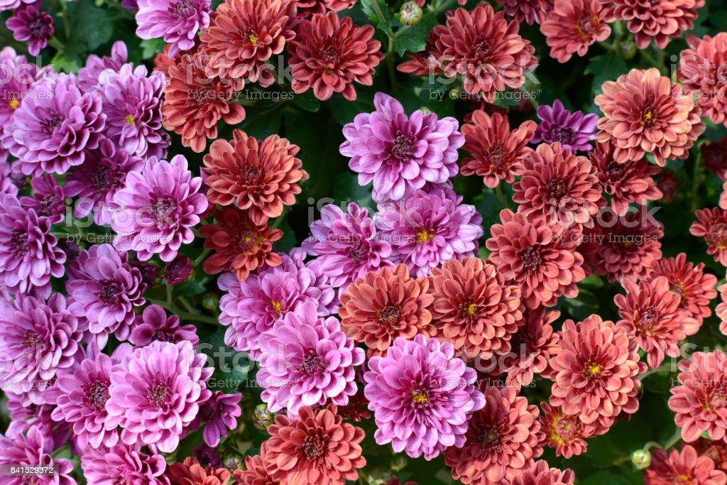 Rot und lila Chrysanthemen – Foto