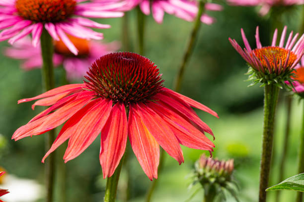 red and purple coneflowers (echinacea) in full bloom
