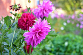 Red and purple Dahlias in the garden in the green