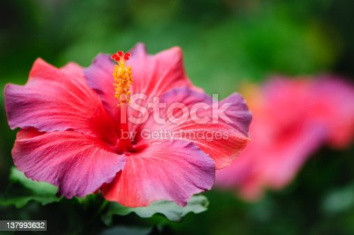 A red and purple hibiscus.  Out of focus background for copy space.