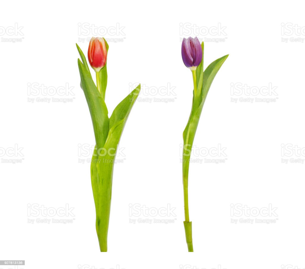 Red And Purple Tulip Flowers Isolated On White Background Tall Fresh