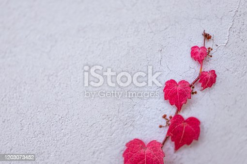 istock Red and Rose Colored Heart Shaped Leaves on a vine growing up a textured white wall 1203073452