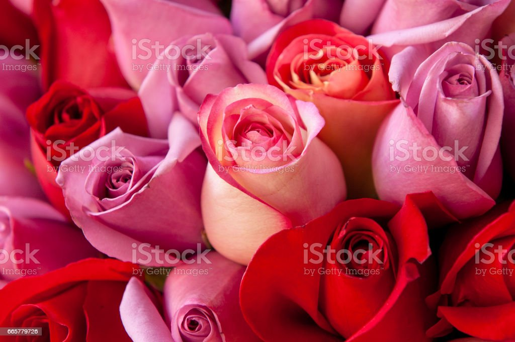 Roses rouges et roses - Photo