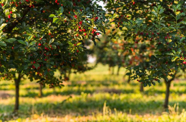rot und süßkirsche bäume im obstgarten - filiale im frühsommer - obstgarten stock-fotos und bilder
