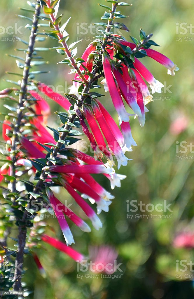 Red and white bells of the Fuschia Heath stock photo