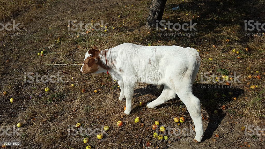 Red and white calf child cow stock photo