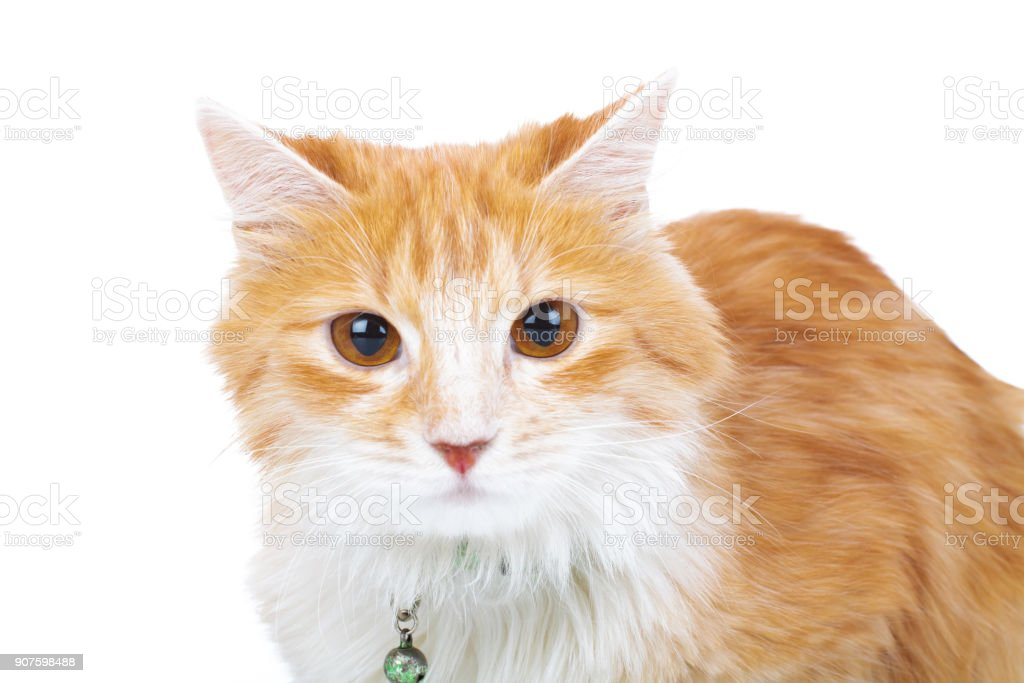 red and white cat looks at the camera stock photo