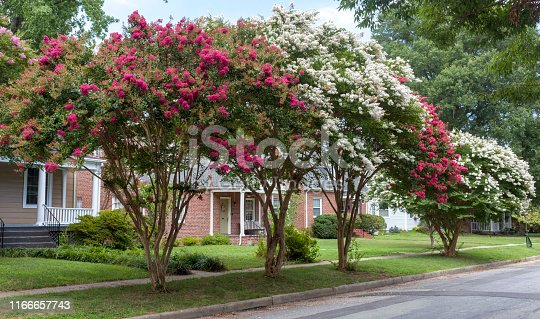 istock Red and White Crepe Myrtle 1166657743