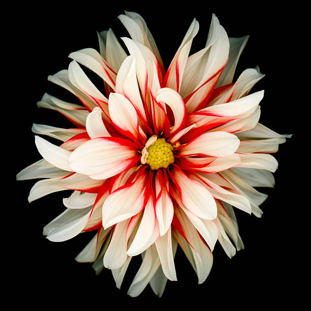 Red and white dahlia isolated on black background stock photo