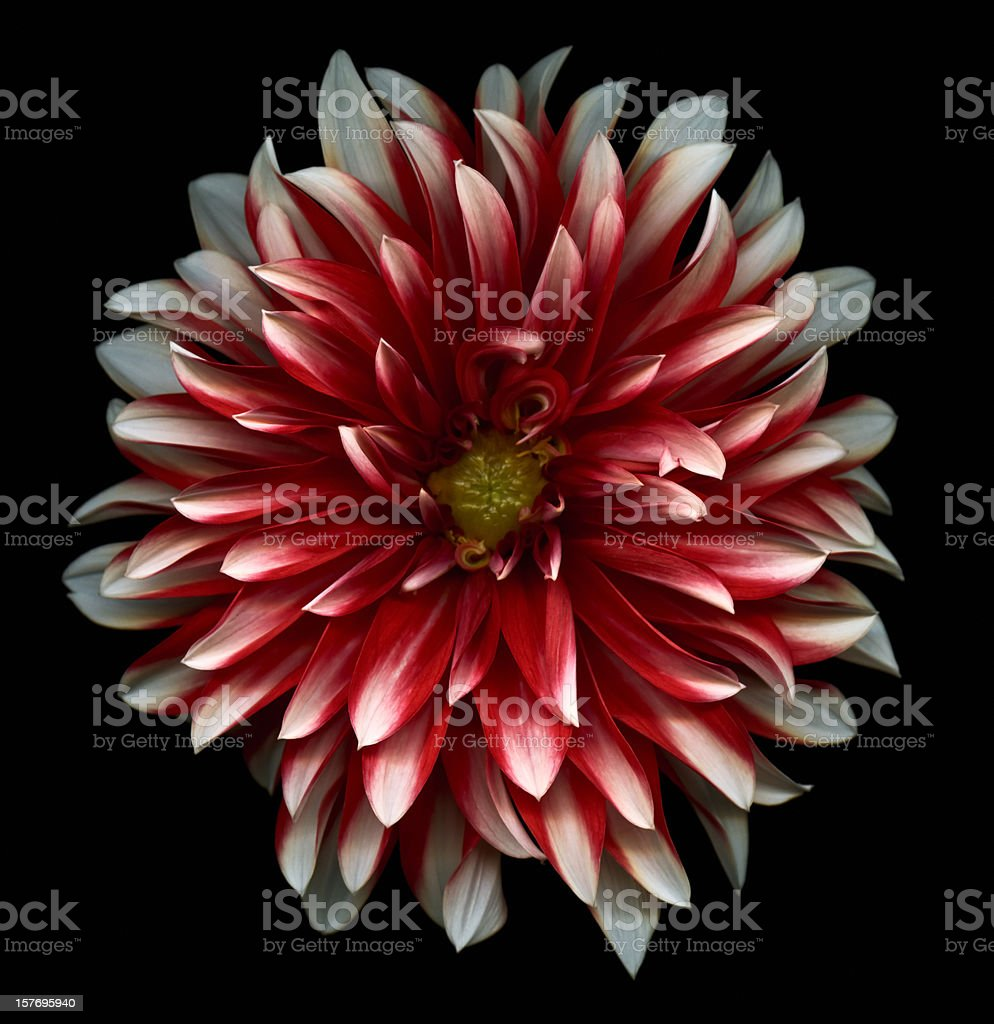 Red and White dahlia stock photo