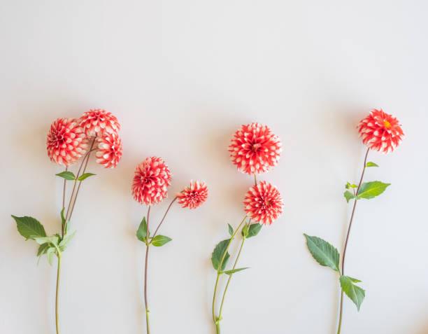 Red and white dahlias on white background stock photo