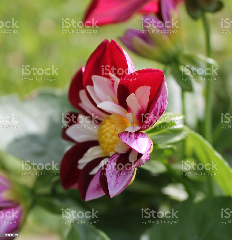 Red and white flower close-up royalty-free stock photo