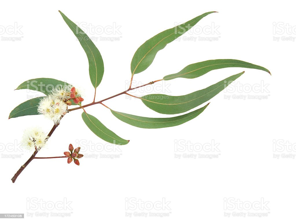 Red and white flowering Eucalyptus branch stock photo