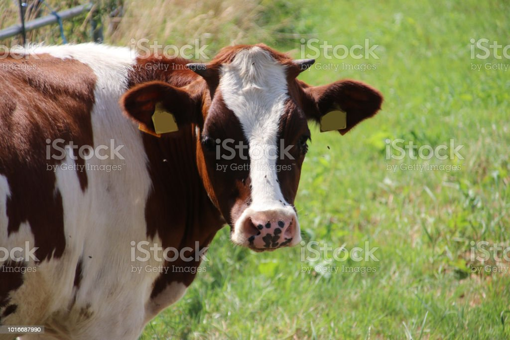 Rode en witte Friese koeien op het gras op weide in Nederland foto